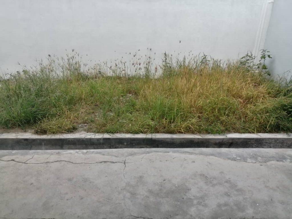 Rumput di Hadapan Rumah sebelum dipotong dengan mesin rumput